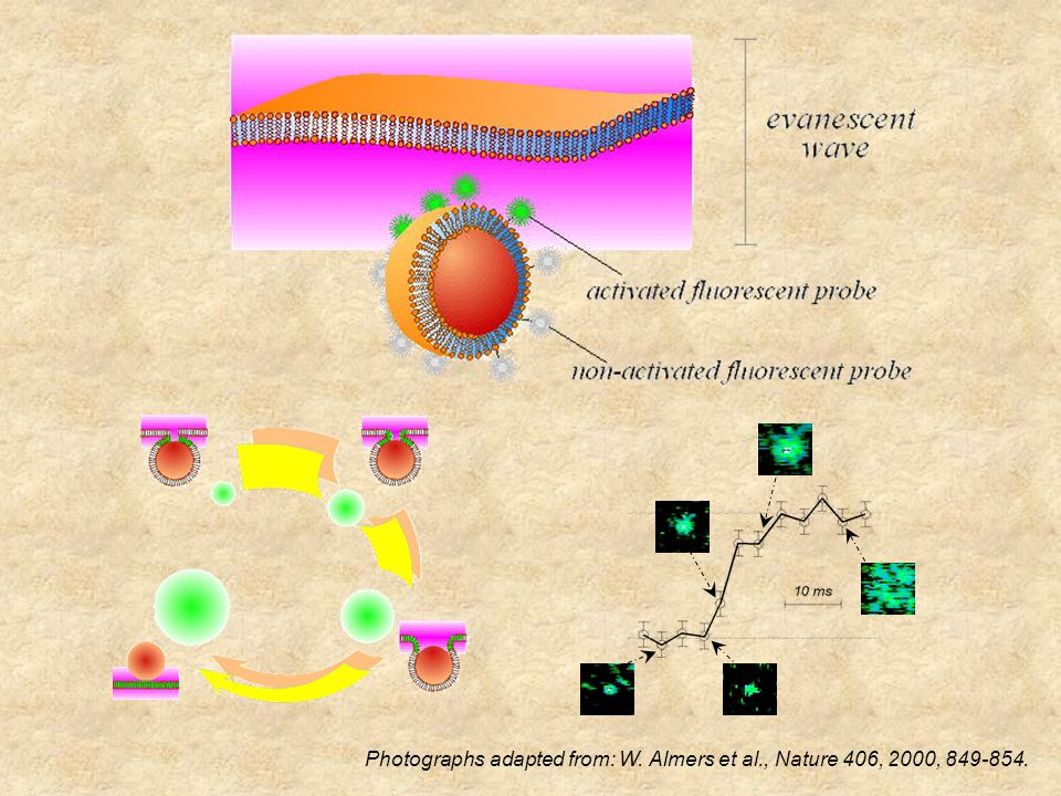 Rate of full fusion: surface area increases Diffusion: control by Dt/R vesicle 2.