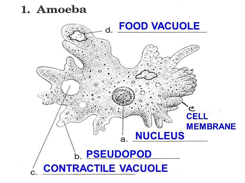 NUCLEUS PSEUDOPOD CONTRACTILE VACUOLE FOOD VACUOLE CELL MEMBRANE