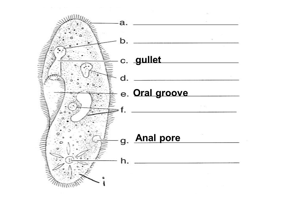 Oral groove Anal pore gullet