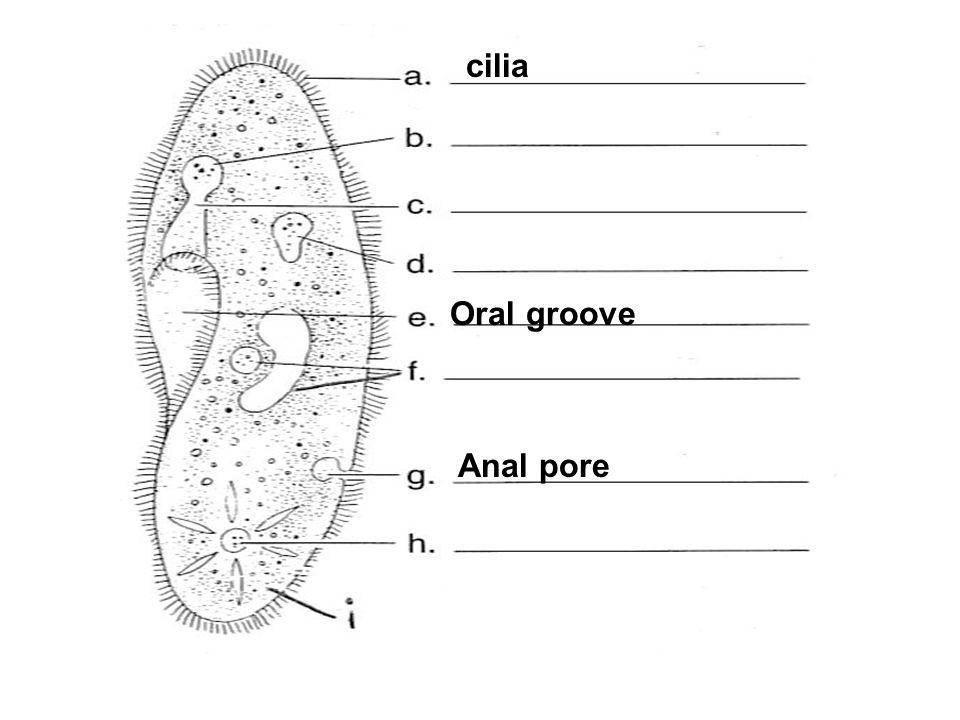 Oral groove cilia Anal pore