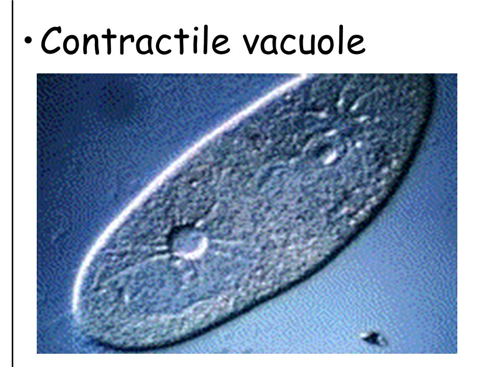 Contractile vacuole