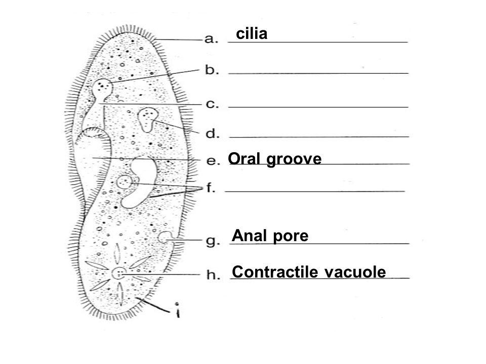 Oral groove cilia Contractile vacuole Anal pore