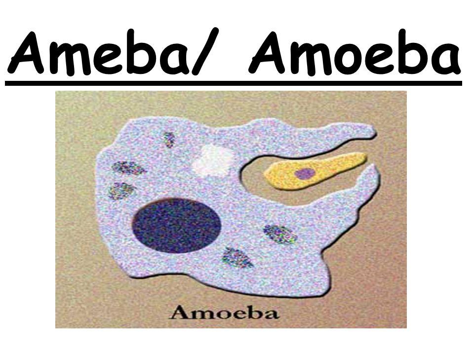 Ameba/ Amoeba