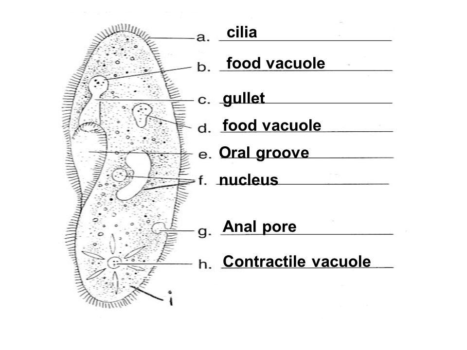 Oral groove cilia Contractile vacuole Anal pore food vacuole gullet food vacuole nucleus