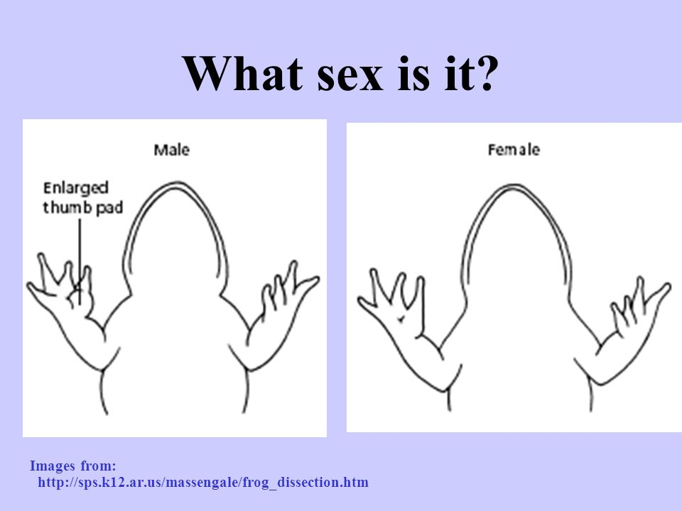 What sex is it? Images from: http://sps.k12.ar.us/massengale/frog_dissection.htm