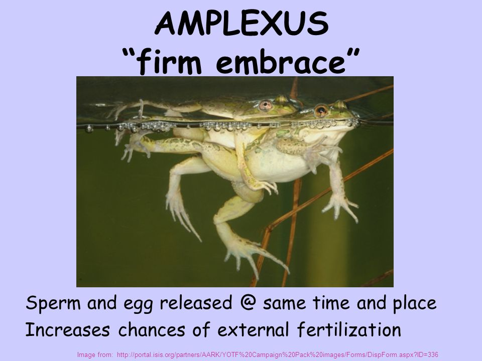 "AMPLEXUS ""firm embrace"" Sperm and egg released @ same time and place Increases chances of external fertilization Image from: http://portal.isis.org/pa"