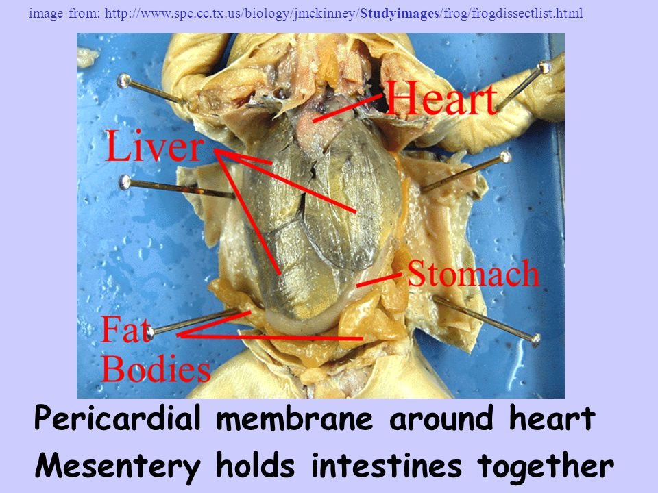 Pericardial membrane around heart Mesentery holds intestines together image from: http://www.spc.cc.tx.us/biology/jmckinney/Studyimages/frog/frogdisse