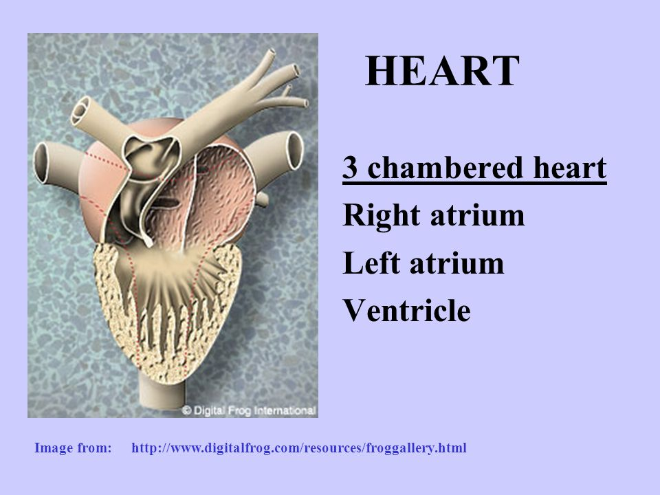 HEART 3 chambered heart Right atrium Left atrium Ventricle Image from: http://www.digitalfrog.com/resources/froggallery.html