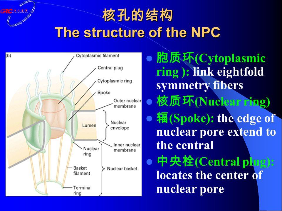 核孔的结构 The structure of the NPC 胞质环 (Cytoplasmic ring ): link eightfold symmetry fibers 核质环 (Nuclear ring) 辐 (Spoke): the edge of nuclear pore extend to the central 中央栓 (Central plug): locates the center of nuclear pore