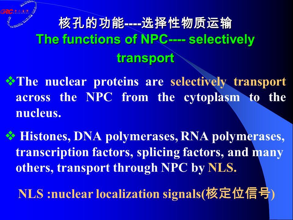 核孔的功能 ---- 选择性物质运输 The functions of NPC---- selectively transport  The nuclear proteins are selectively transport across the NPC from the cytoplasm to the nucleus.