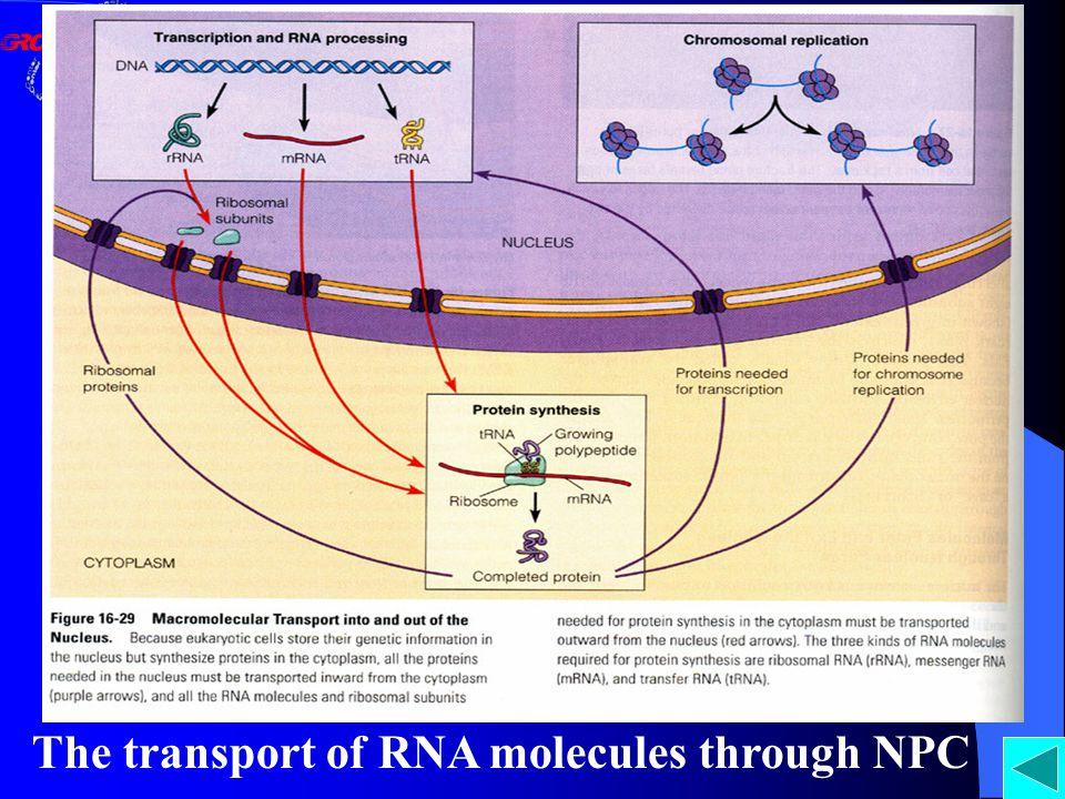 The transport of RNA molecules through NPC
