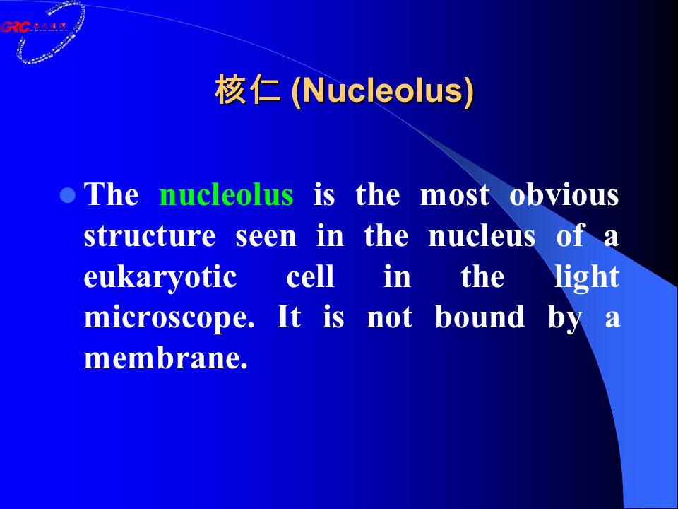 核仁 (Nucleolus) The nucleolus is the most obvious structure seen in the nucleus of a eukaryotic cell in the light microscope. It is not bound by a memb