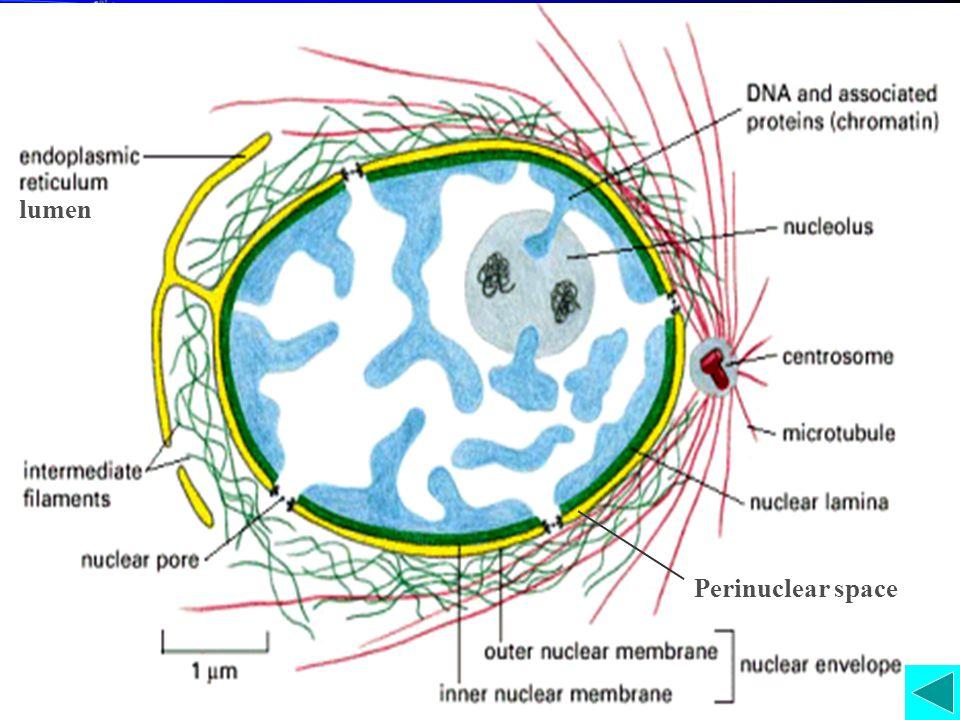核被膜 The Nuclear Envelope The separation of a cell's genetic material from the surrounding cytoplasm most important feature that distinguishes eukaryotes from prokaryotes.