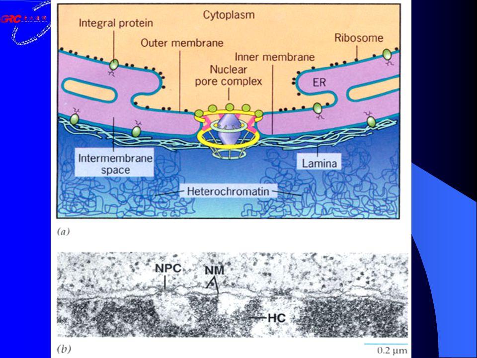 核小体 : 染色质的基本结构单位 Nucleosomes: the lowest level of chromatin organization Nucleosome( 200bp DNA) = a nucleosome core particle + H1 + linker DNA Histone octamer