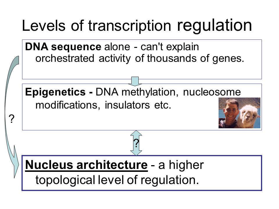 Levels of transcription regulation Epigenetics - DNA methylation, nucleosome modifications, insulators etc. DNA sequence alone - can't explain orchest