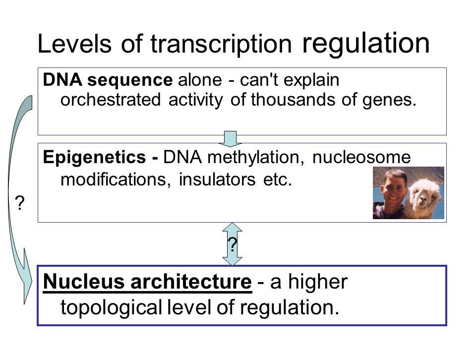 Levels of transcription regulation Epigenetics - DNA methylation, nucleosome modifications, insulators etc.
