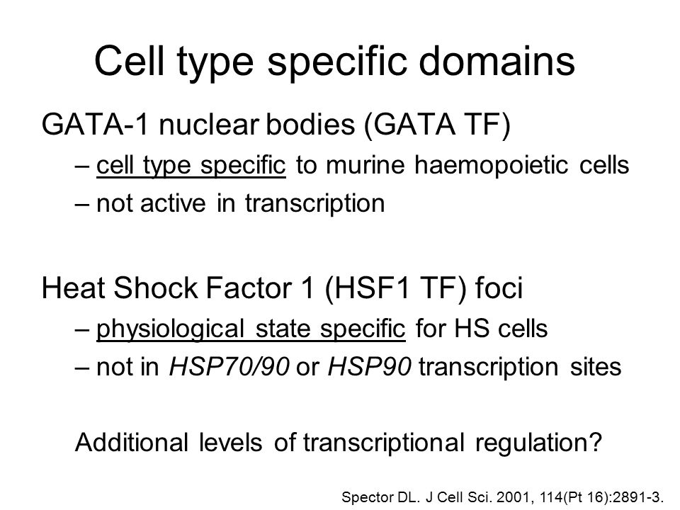 Cell type specific domains GATA-1 nuclear bodies (GATA TF) –cell type specific to murine haemopoietic cells –not active in transcription Heat Shock Fa