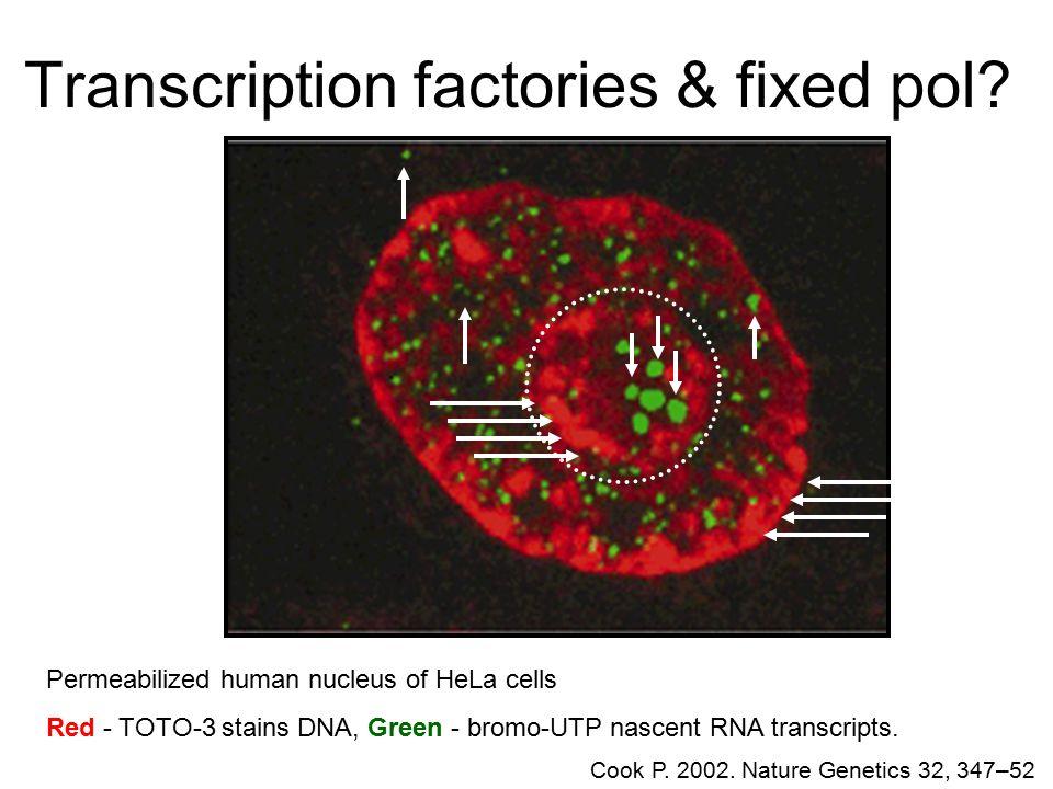 Transcription factories & fixed pol.