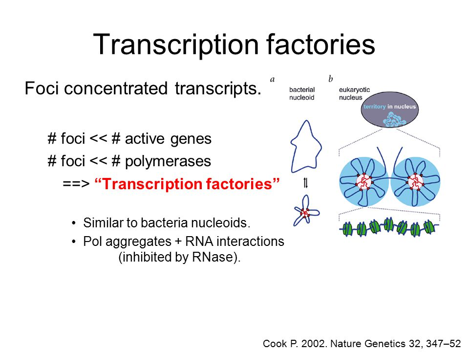 Transcription factories Cook P. 2002. Nature Genetics 32, 347–52 Foci concentrated transcripts. # foci << # active genes # foci << # polymerases ==> ""