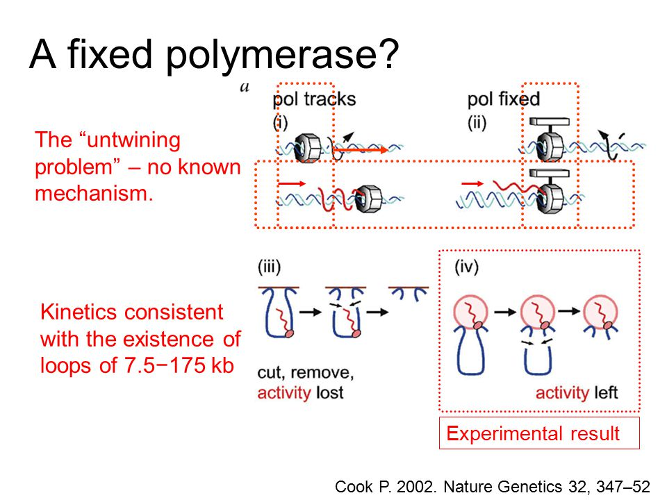 "A fixed polymerase? Cook P. 2002. Nature Genetics 32, 347–52 Experimental result Kinetics consistent with the existence of loops of 7.5−175 kb The ""un"