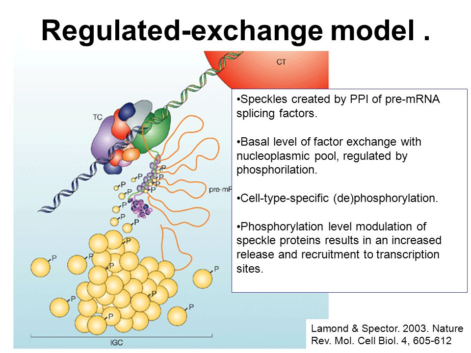Lamond & Spector. 2003. Nature Rev. Mol. Cell Biol. 4, 605-612 Speckles created by PPI of pre-mRNA splicing factors. Basal level of factor exchange wi