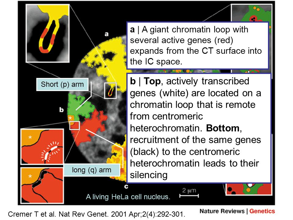 CT–IC model – supporting structural features Cremer T et al. Nat Rev Genet. 2001 Apr;2(4):292-301. a | A giant chromatin loop with several active gene