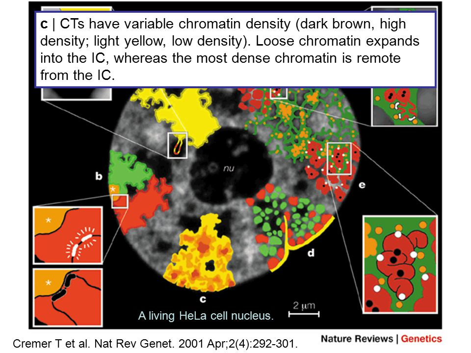CT–IC model – supporting structural features Cremer T et al. Nat Rev Genet. 2001 Apr;2(4):292-301. c | CTs have variable chromatin density (dark brown