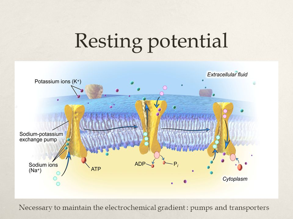 Resting potential Necessary to maintain the electrochemical gradient : pumps and transporters
