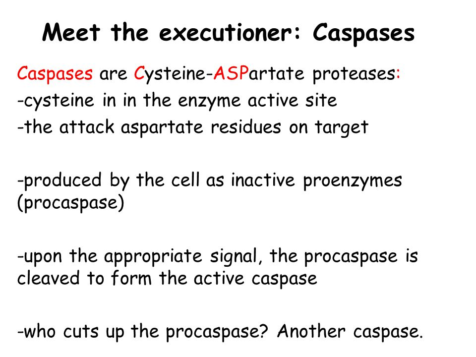 Meet the executioner: Caspases Caspases are Cysteine-ASPartate proteases: -cysteine in in the enzyme active site -the attack aspartate residues on tar