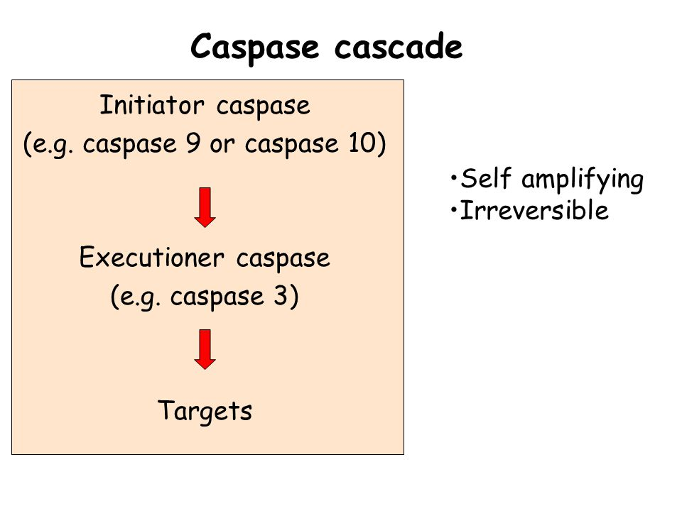 Initiator caspase (e.g. caspase 9 or caspase 10) Executioner caspase (e.g.