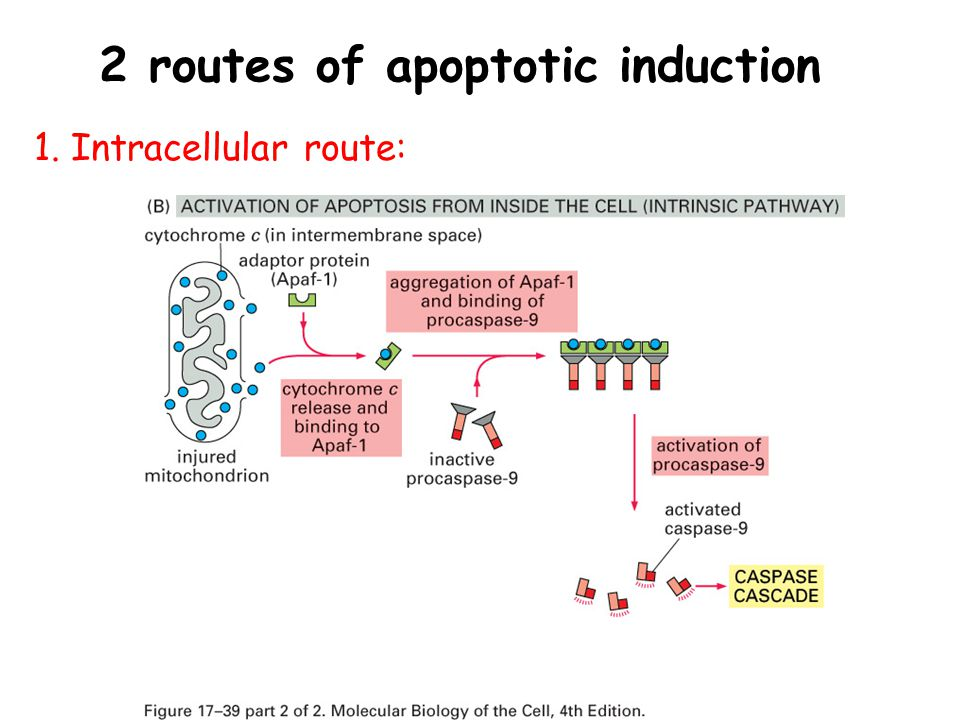 2 routes of apoptotic induction 1. Intracellular route: