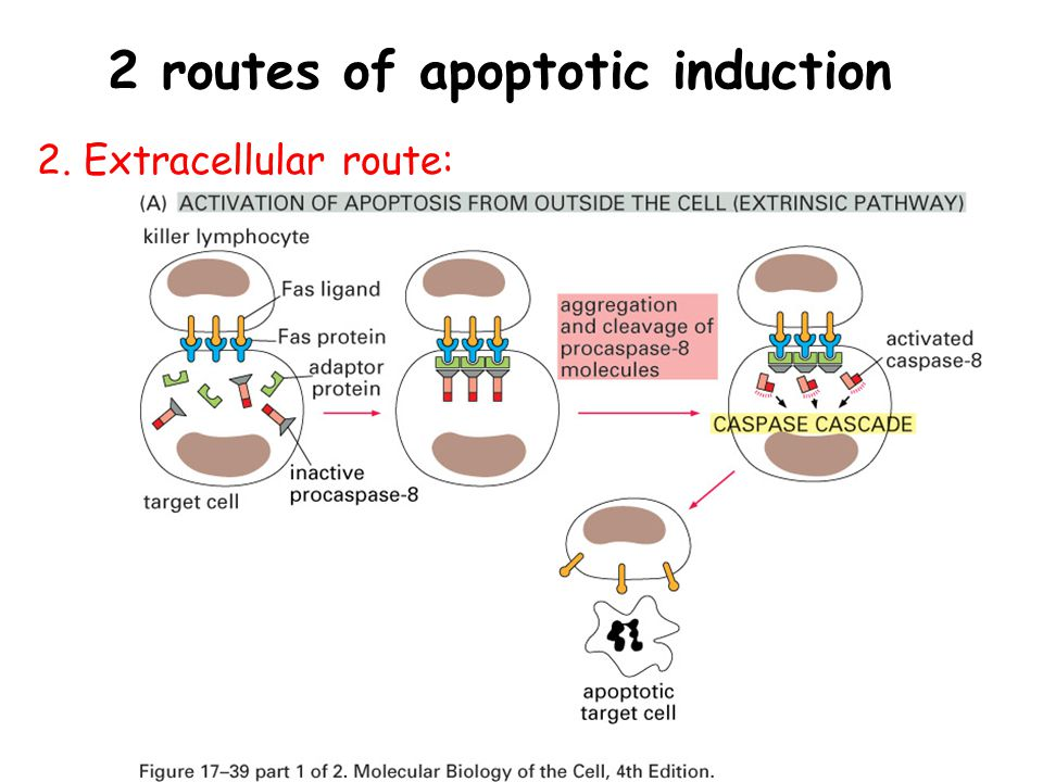 2 routes of apoptotic induction 2. Extracellular route: