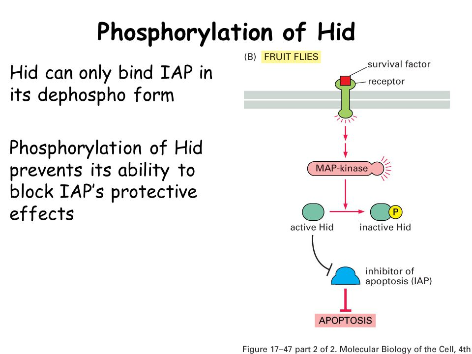 Phosphorylation of Hid Hid can only bind IAP in its dephospho form Phosphorylation of Hid prevents its ability to block IAP's protective effects