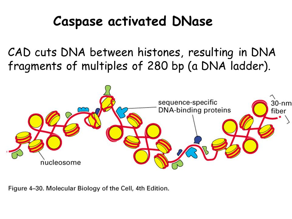 Caspase activated DNase CAD cuts DNA between histones, resulting in DNA fragments of multiples of 280 bp (a DNA ladder).
