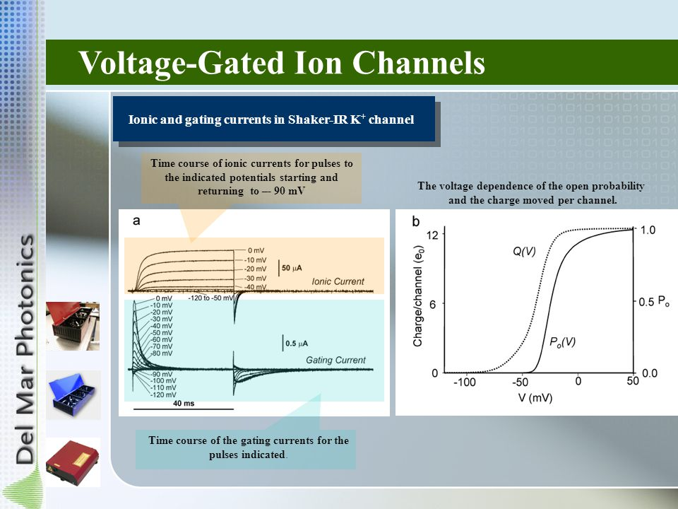 Voltage-Gated Ion Channels Ionic and gating currents in Shaker-IR K + channel Time course of ionic currents for pulses to the indicated potentials starting and returning to –- 90 mV Time course of the gating currents for the pulses indicated.