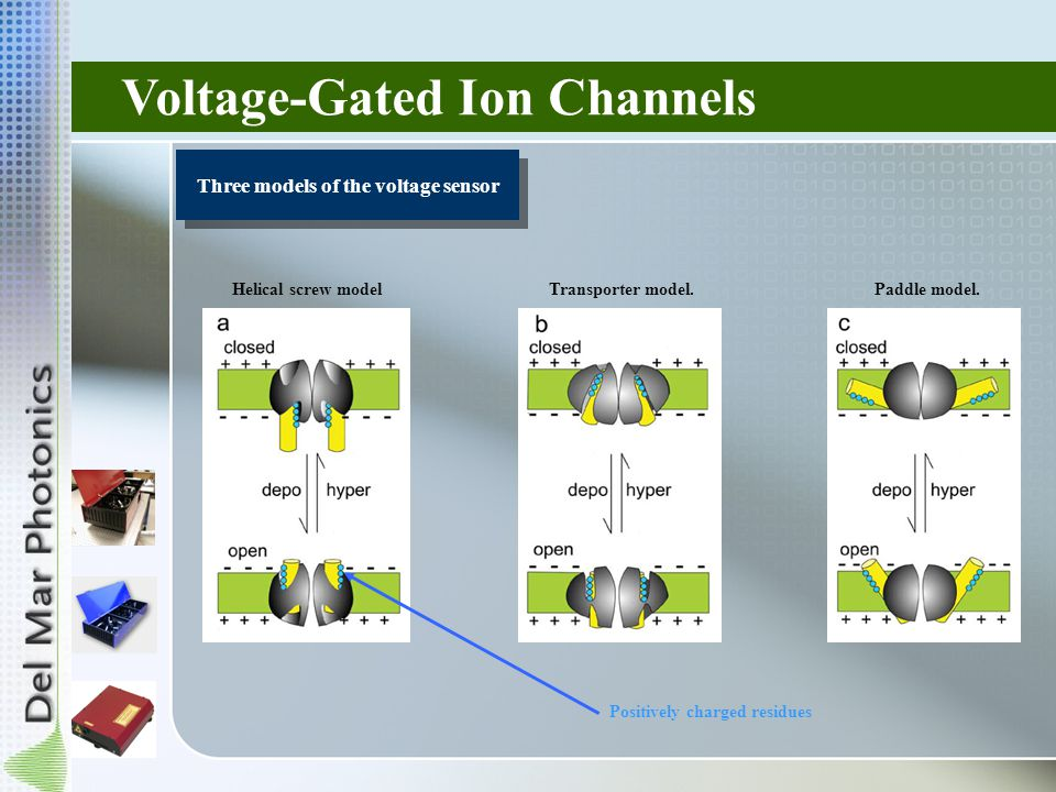 Voltage-Gated Ion Channels Three models of the voltage sensor Helical screw modelPaddle model.Transporter model.