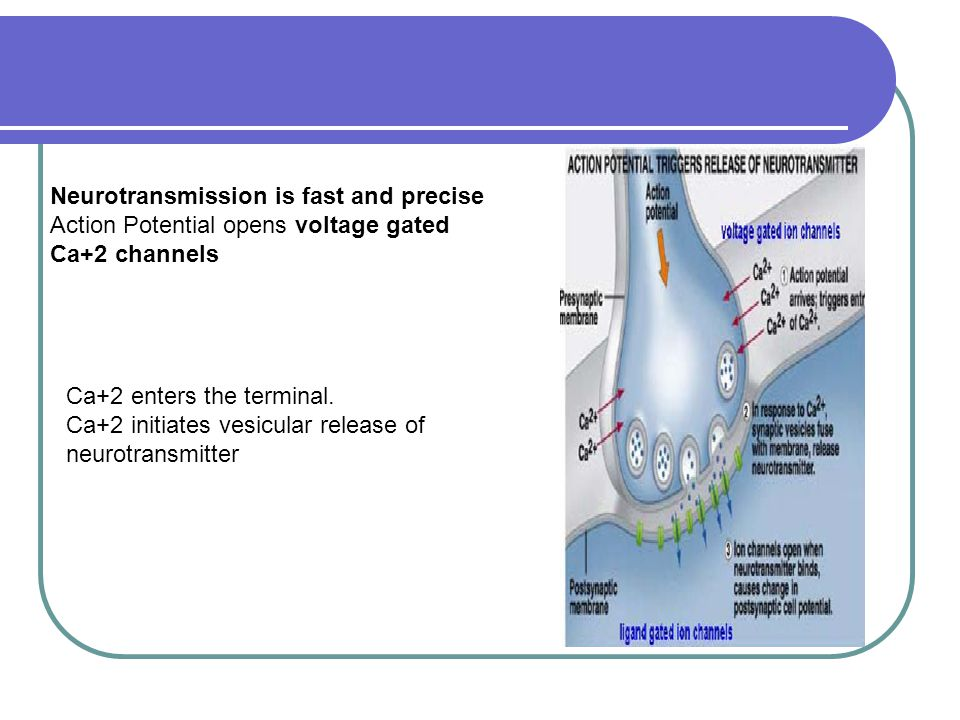 Neurotransmission is fast and precise Action Potential opens voltage gated Ca+2 channels Ca+2 enters the terminal.