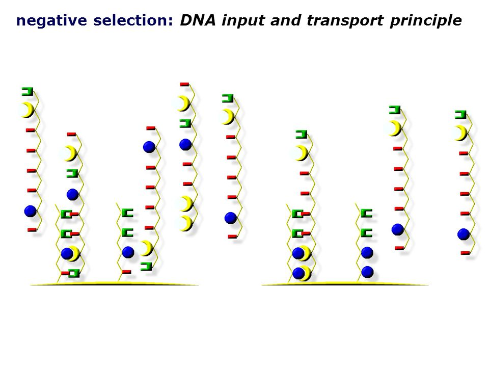 negative selection: DNA input and transport principle