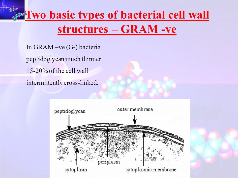 Two basic types of bacterial cell wall structures – GRAM +ve Gram +ve cells peptidoglycan is:  heavily cross-linked  very thick  (peptidoglycan accounting for 50% of weight of cell  and 90% of the weight of the cell wall)  20-80 nm thick.