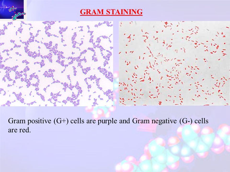 Two basic types of bacterial cell wall structures – GRAM -ve In GRAM –ve (G-) bacteria peptidoglycan much thinner 15-20% of the cell wall intermittently cross-linked.
