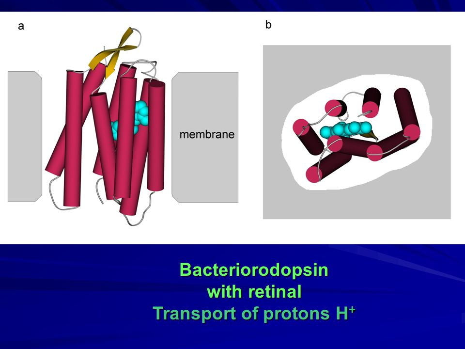 Bacteriorodopsin with retinal Transport of protons H +