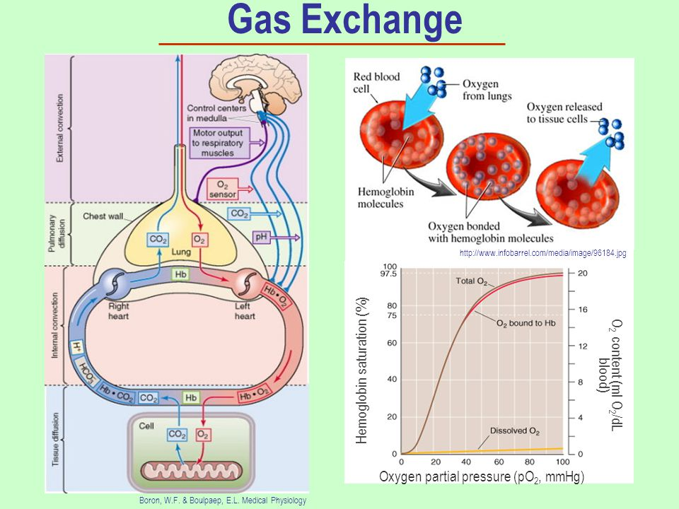 Gas Exchange Boron, W.F. & Boulpaep, E.L.