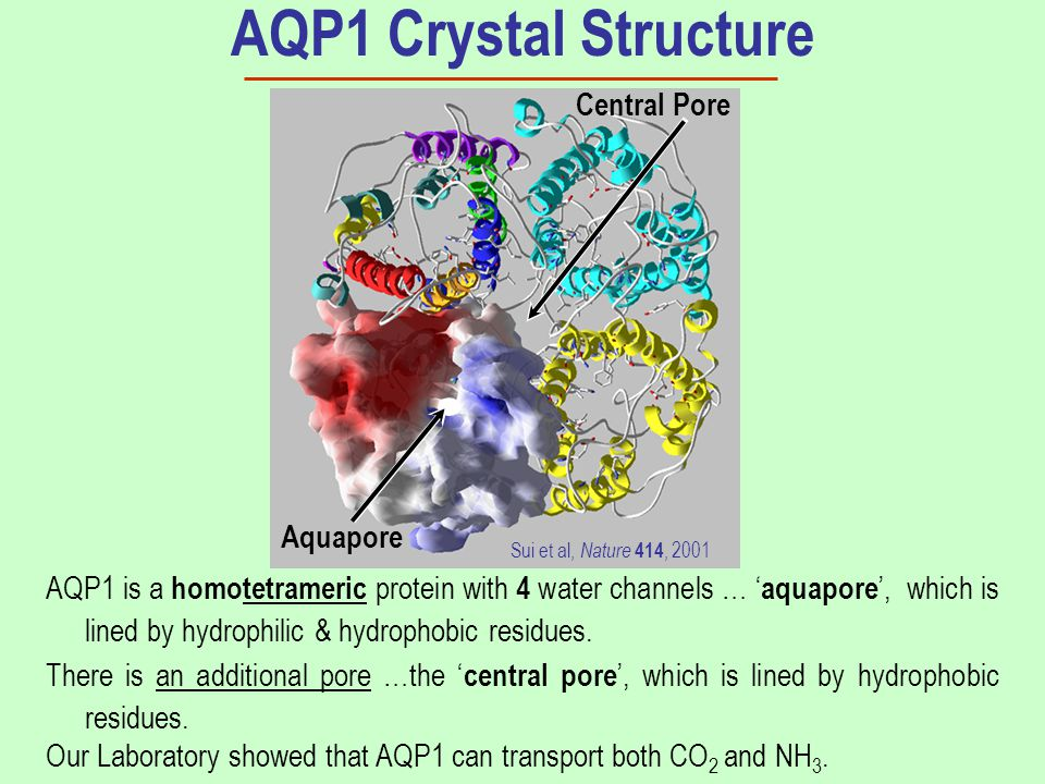 AQP1 is a homotetrameric protein with 4 water channels … ' aquapore ', which is lined by hydrophilic & hydrophobic residues. AQP1 Crystal Structure Th
