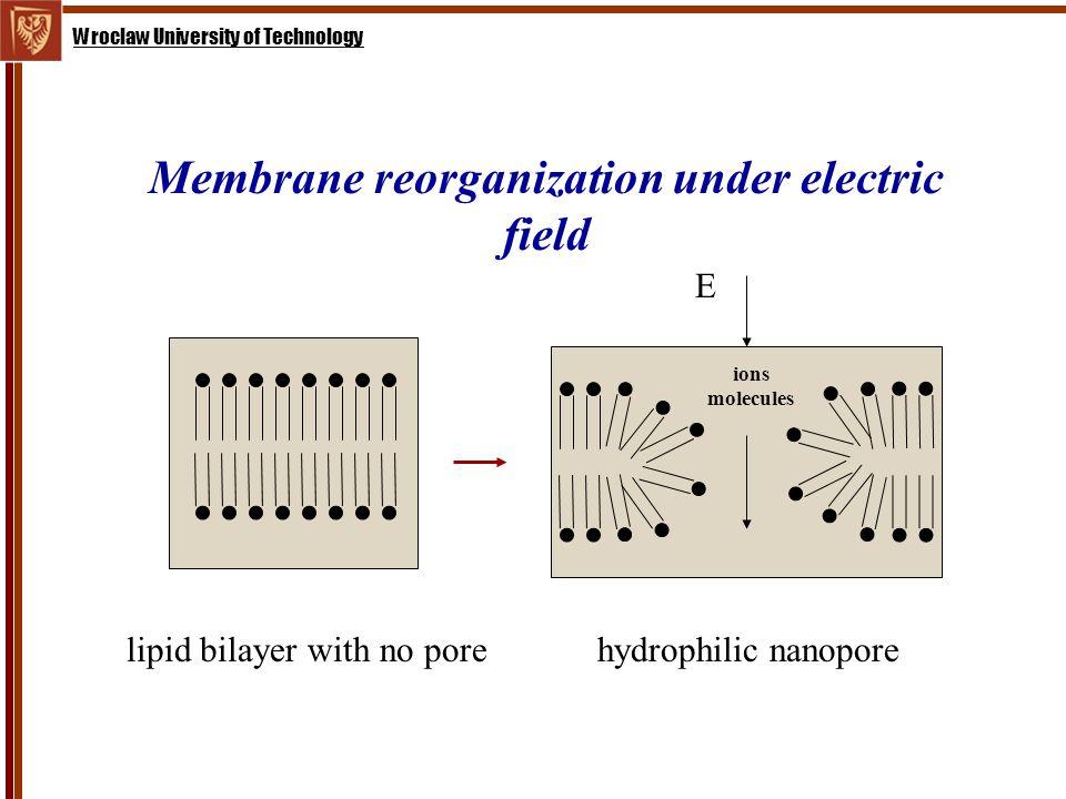 Membrane reorganization under electric field lipid bilayer with no porehydrophilic nanopore E ions molecules