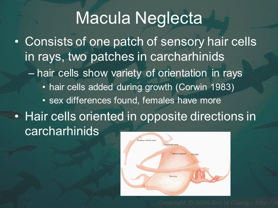 Macula Neglecta Consists of one patch of sensory hair cells in rays, two patches in carcharhinids –hair cells show variety of orientation in rays hair cells added during growth (Corwin 1983) sex differences found, females have more Hair cells oriented in opposite directions in carcharhinids