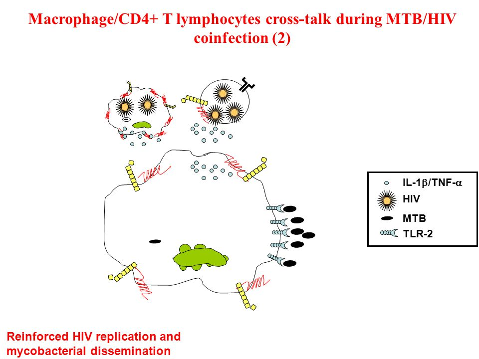 Macrophage/CD4+ T lymphocytes cross-talk during MTB/HIV coinfection (2) Reinforced HIV replication and mycobacterial dissemination IL-1  /TNF-  HIV MTB TLR-2