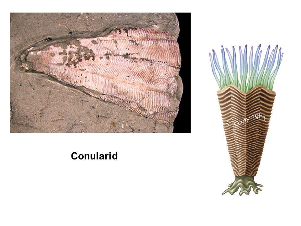 Conularid