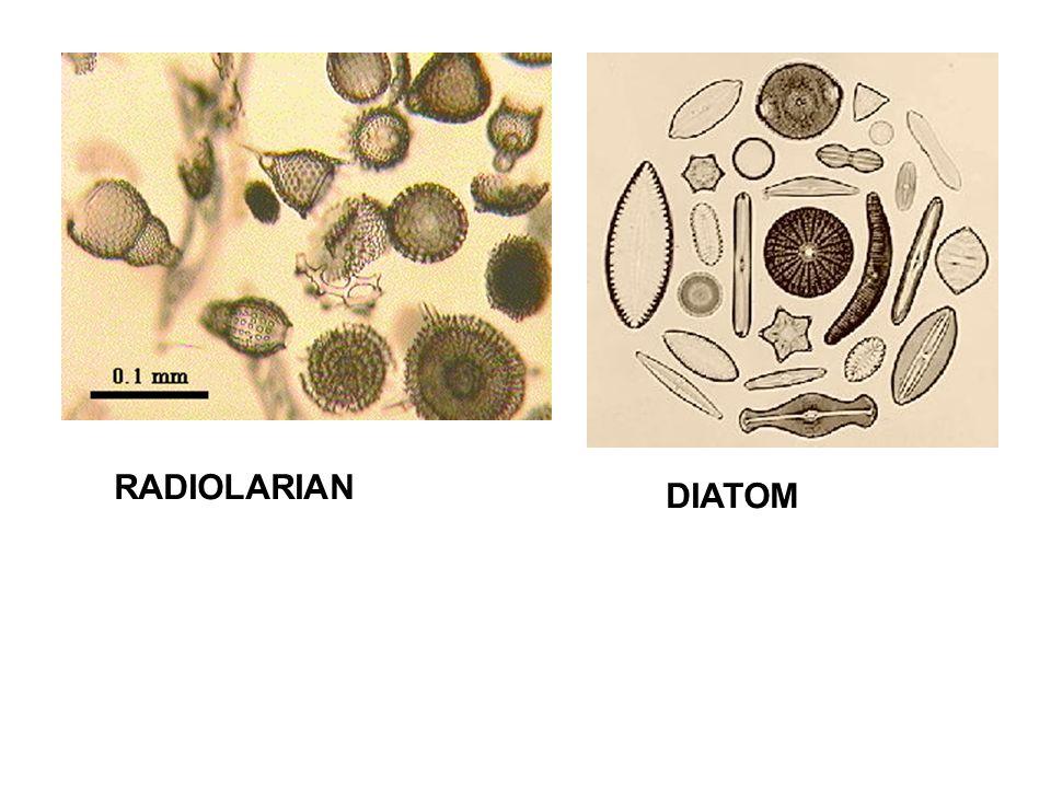 RADIOLARIAN DIATOM