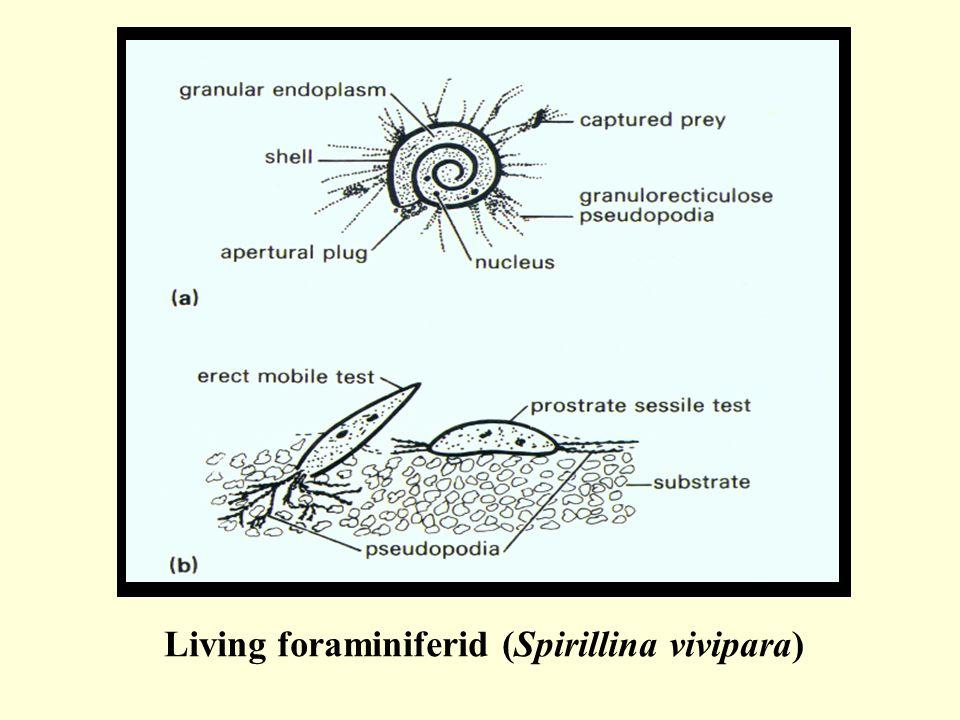 Living foraminiferid (Spirillina vivipara)