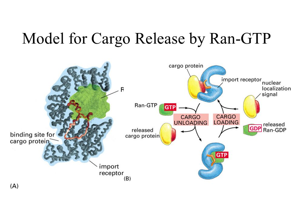 Model for Cargo Release by Ran-GTP